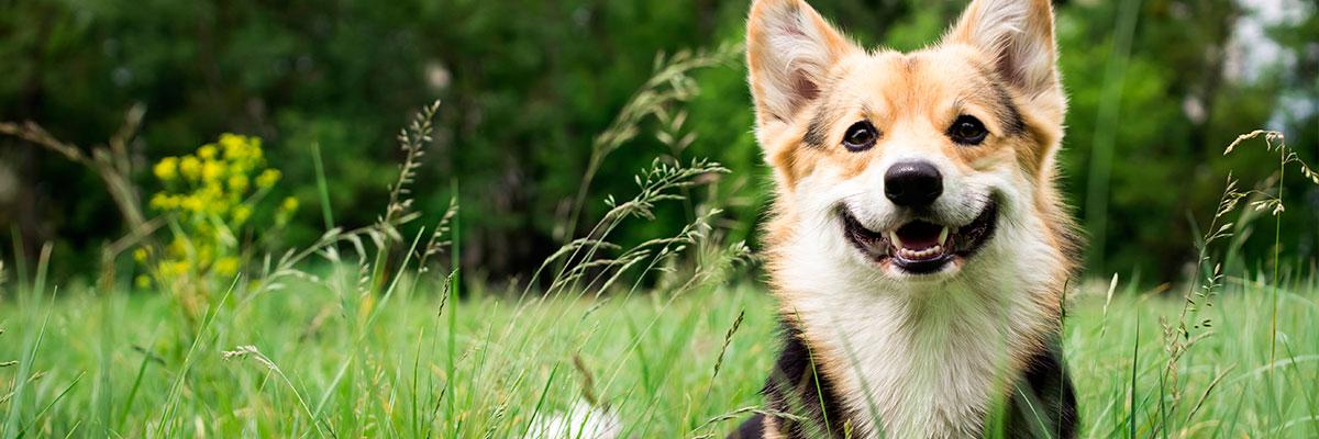 Hvad kan hunde ikke tåle?