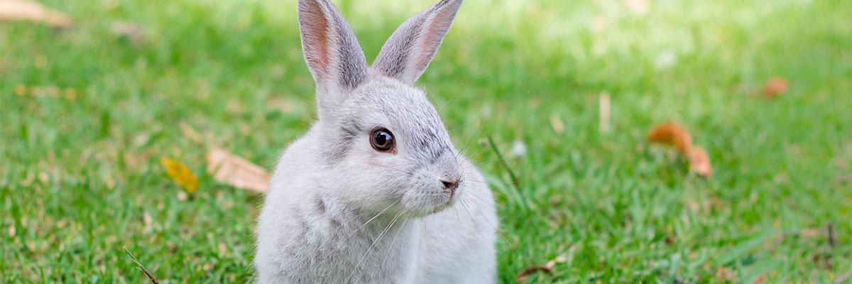 Kanin efter sterilisation